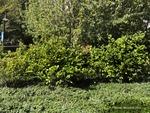<em>Fothergilla gardenii</em> Whole Plant/Habit