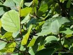 <em>Fothergilla gardenii</em> Branch/Twig by Julia Fitzpatrick-Cooper