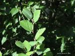 <em>Fothergilla gardenii</em> Bud