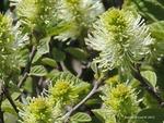 <em>Fothergilla gardenii</em> Flower