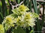 <em>Fothergilla gardenii</em> Flower by Julia Fitzpatrick-Cooper