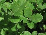 <em>Fothergilla gardenii</em> Leaf