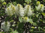 <em>Fothergilla gardenii</em> Special ID Features by Julia Fitzpatrick-Cooper