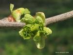 <em>Ginkgo biloba</em> Flower