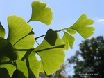<em>Ginkgo biloba</em> Leaf/Leaf Attachment by Julia Fitzpatrick-Cooper