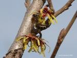 <em>Hamamelis vernalis</em> Branch/Twig by Julia Fitzpatrick-Cooper