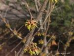 <em>Hamamelis vernalis</em> Bud: Vegetative