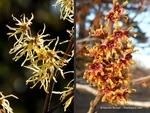 <em>Hamamelis vernalis</em> Flower by Julia Fitzpatrick-Cooper