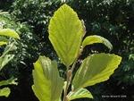 <em>Hamamelis vernalis</em> Leaf by Julia Fitzpatrick-Cooper