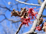 <em>Hamamelis vernalis</em> Special ID Features