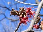 <em>Hamamelis vernalis</em> Special ID Features by Julia Fitzpatrick-Cooper
