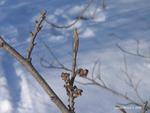 <em>Hamamelis virginiana</em> Bud: Vegetative