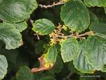 <em>Hamamelis virginiana</em> Flower
