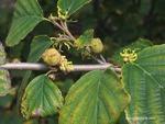 <em>Hamamelis virginiana</em> Fruit
