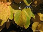 <em>Hamamelis virginiana</em> Leaf