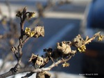 <em>Hamamelis virginiana</em> Winter Interest