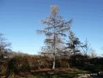 <em> Larix decidua </em> Whole Plant/Habit by Julia Fitzpatrick-Cooper