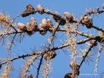 <em> Larix decidua </em> Branch/Twig
