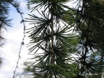 <em> Larix decidua </em> Leaf Number/Attachment