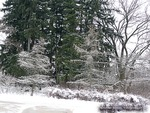 <em> Larix decidua </em> Winter Interest