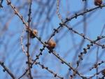 <em>Larix laricina</em> Branch/Twig