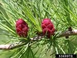 <em>Larix laricina</em> Flower