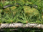 <em>Larix laricina</em> Leaf Number/Attachment