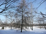 <em>Larix laricina</em> Winter Interest