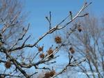 <em>Liquidambar styraciflua</em> Branch/twig