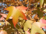 <em>Liquidambar styraciflua</em> Leaf