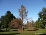 <em> Metasequoia glyptostroboides</em> Whole Plant/Habit by Julia Fitzpatrick-Cooper