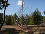 <em> Metasequoia glyptostroboides</em> Whole Plant/Habit