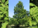 <em> Metasequoia glyptostroboides</em> Whole Plant/Habit by Julia Fitzpatrick-Cooper