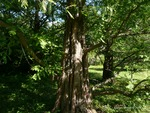 <em> Metasequoia glyptostroboides</em> Bark by Julia Fitzpatrick-Cooper