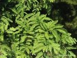 <em> Metasequoia glyptostroboides</em> Branch/Twig by Julia Fitzpatrick-Cooper