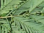 <em> Metasequoia glyptostroboides</em> Bud