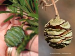 <em> Metasequoia glyptostroboides</em> Cone