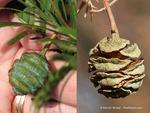 <em> Metasequoia glyptostroboides</em> Cone by Julia Fitzpatrick-Cooper
