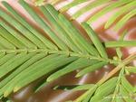 <em> Metasequoia glyptostroboides</em> Leaf Number/Attachment