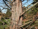 <em> Metasequoia glyptostroboides</em> Special ID Features by Julia Fitzpatrick-Cooper