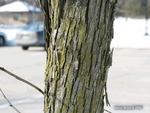 <em>Ostrya virginiana</em> Bark by Julia Fitzpatrick-Cooper