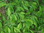 <em>Ostrya virginiana</em> Leaf