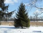 <em>Picea abies </em> Whole Plant/Habit by Julia Fitzpatrick-Cooper