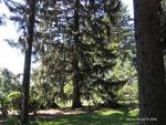 <em>Picea abies </em> Whole Plant/Habit