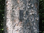 <em>Picea abies </em> Bark