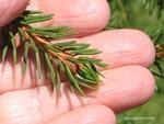 <em>Picea abies </em> Bud