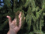 <em>Picea abies </em> Leaf/Leaf Attachment