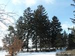 <em>Picea abies </em> Winter Interest