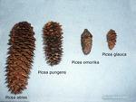 <em>Picea abies, Picea glauca, Picea omorika, Picea pungens</em> Cone by Julia Fitzpatrick-Cooper