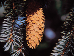 <em>Picea pungens</em> Cone by Julia Fitzpatrick-Cooper